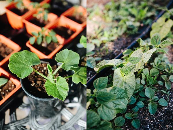 Backyard Garden Beans and Squash