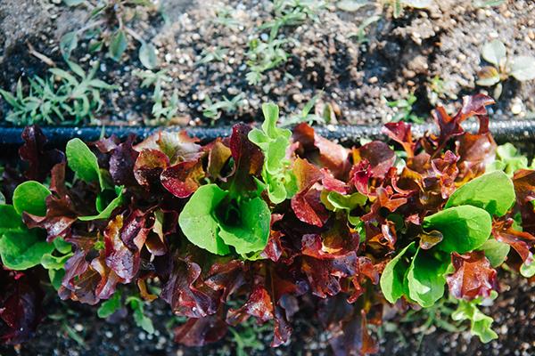 Backyard Garden Lettuce