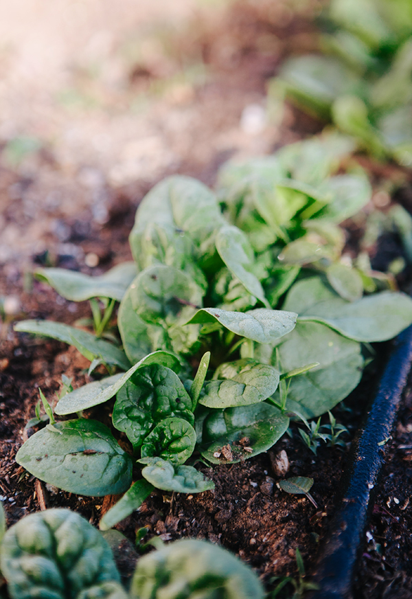 Backyard Garden Spinach