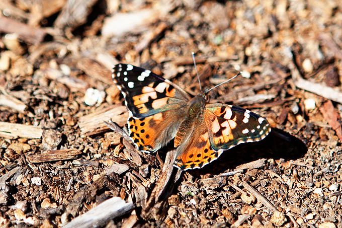 Painted Ladies Migrating from Mexico