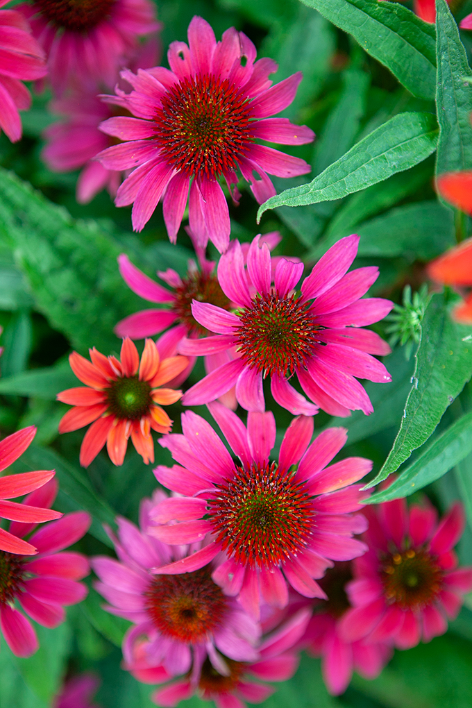 Closeup of Bright Pink and Orange Flowers at the Biltmore Gardens