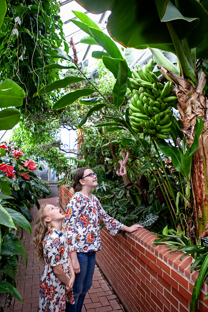 Kids visiting the Biltmore Gardens Conservatory and looking at a bunch of bananas hanging in the trees