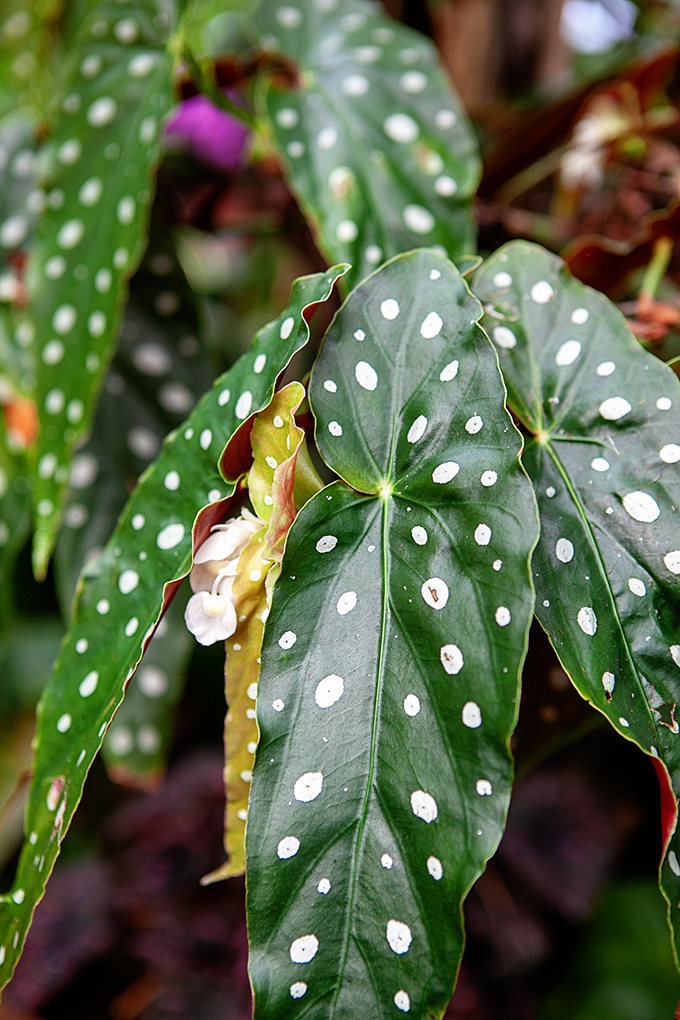 Green Leaves with White Spots on plant in Biltmore Conservatory